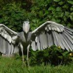 Shoebill: Bico-de-tamanco