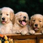 Filhotes levados de Golden Retriever.